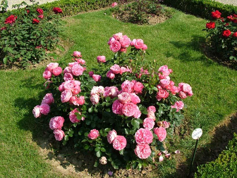Выращивание карликовых роз в открытом грунте 57