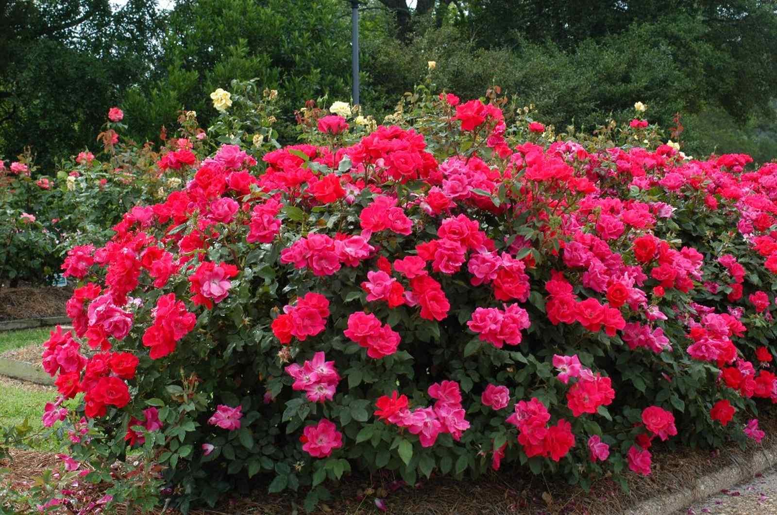 этой розы шрабы фото уход и выращивание забываем, что должно