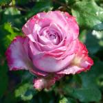 Как правильно выращивать розы в Сибири — посадка и уход