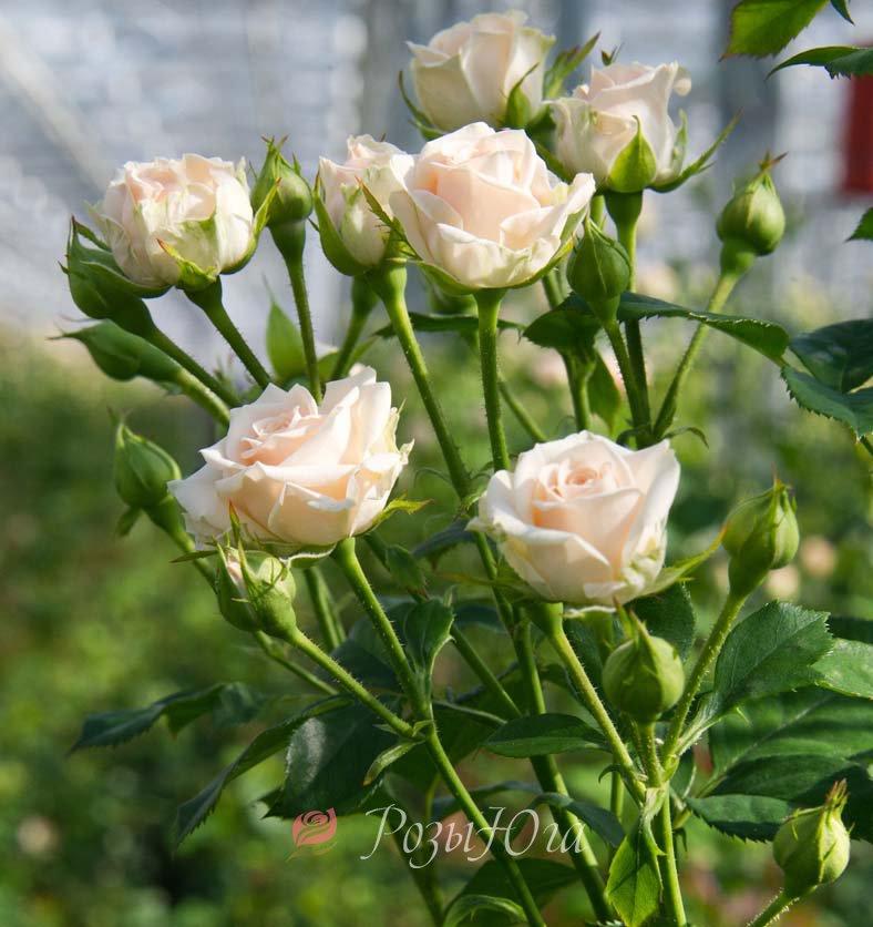 Купить розы в розы юга из динской необычные букеты цветов с доставкой